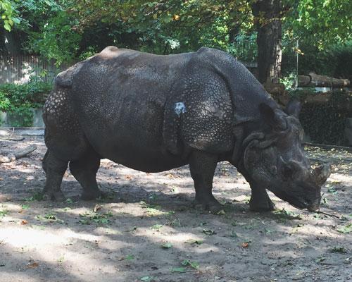 Nashorn im Berliner Zoo