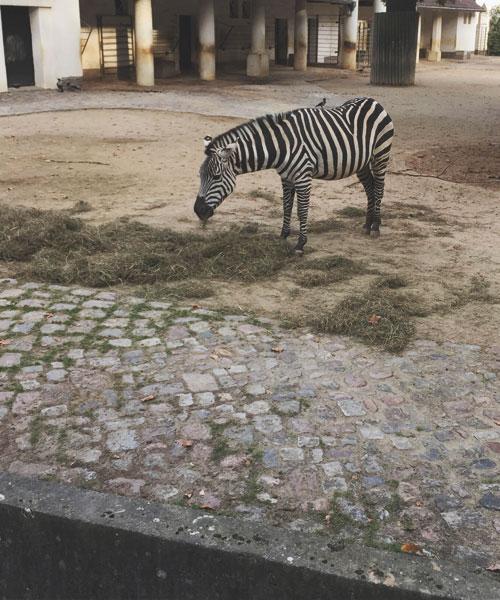 Zebra im Berliner Zoo